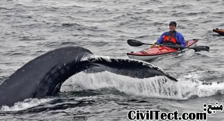 قایقرانی در کنار نهنگها