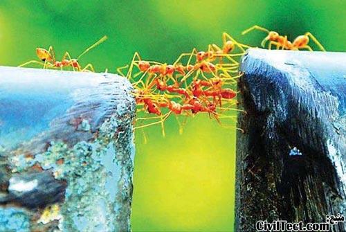 پلی از جنس مورچه!
